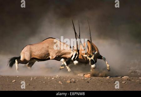 Intense fight between two Gemsbok bulls on dusty desert plains of Etosha - Stock Photo