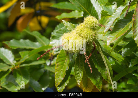 Sweet Chestnut tree - mature green fruit husks and leaves -  Studley Royal Park, Ripon, North Yorkshire, UK - Stock Photo