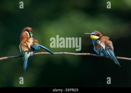 Two European Bee-eaters (Merops apiaster) preening on a branch - Stock Photo