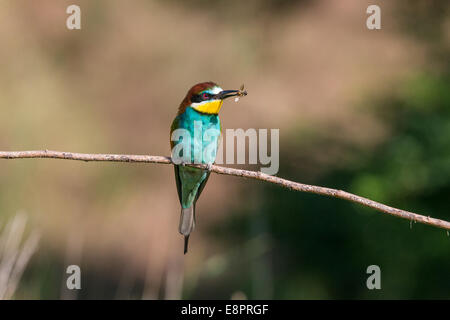 European Bee-eater (Merops apiaster) holding an unidentified Honey Bee (Apis) - Stock Photo