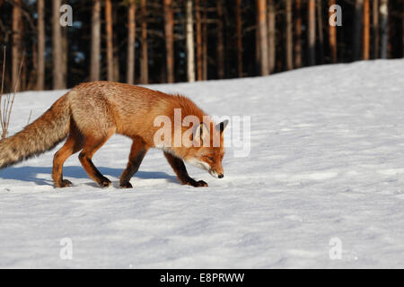 A red fox (Vulpes vulpes) is sniffing the snow on a sunny winter day. - Stock Photo