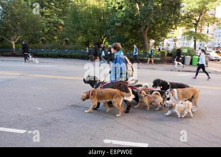 Dog Walker in Central Park - Stock Photo