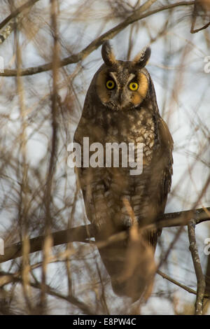 Long-eared Owl perched on a branch. - Stock Photo