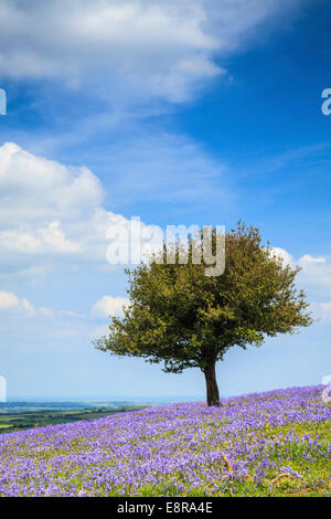 Bluebells near Okehampton Camp in  the Dartmoor National Park - Stock Photo