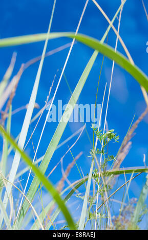 Blades of grass. Grass swaying in the wind against a blue sky. Shallow DOF