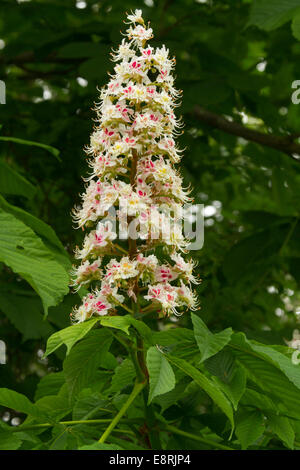 White and pink flowering horse chestnut trees in an inner courtyard emerald foliage and tall spike of beautiful pink and white flowers of british horse chestnut tree mightylinksfo Gallery