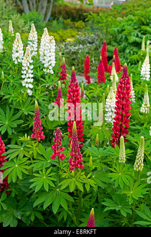Mass of tall spikes of bright red & white lupines, Lupinus polyphyllus cultivar & emerald foliage in herbaceous - Stock Photo