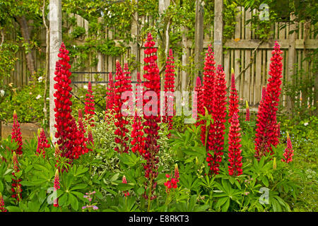 Mass of tall spikes of bright red lupines, Lupinus polyphyllus cultivar with emerald foliage in herbaceous border - Stock Photo