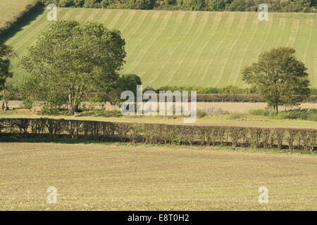 Arable farming on north downs hillside fertile chalky soil freshly sown with cereal crop contrasting with cut hedgerows - Stock Photo