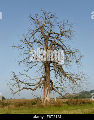 Mature horse chestnut that has died and is still standing in open fields against backdrop of north downs and blue - Stock Photo