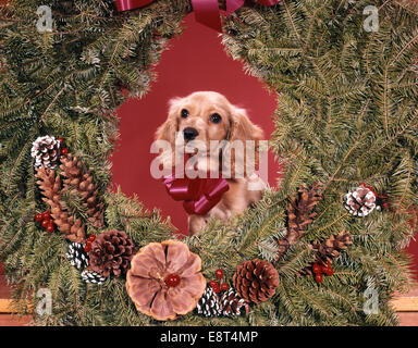 1960s COCKER SPANIEL PUPPY INSIDE CHRISTMAS WREATH LOOKING AT CAMERA - Stock Photo