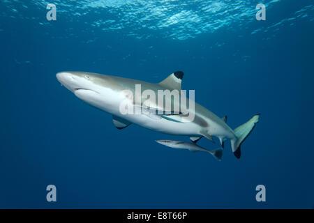 Blacktip Reef Shark (Carcharhinus melanopterus) with Live Sharksucker (Echeneis naucrates), UNESCO World Heritage - Stock Photo