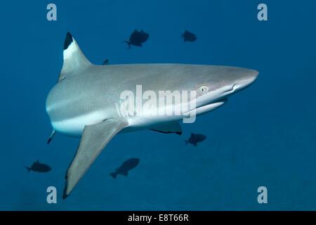 Blacktip Reef Shark (Carcharhinus melanopterus), with Niger Trigger Fish (Odonus niger), UNESCO World Heritage Site - Stock Photo