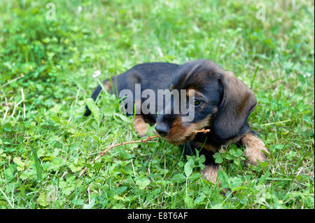 Wire-haired dachshund, puppy, Germany - Stock Photo