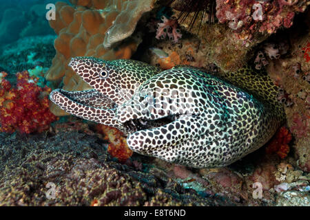 Honeycomb Morays (Gymnothorax favagineus) pair in a hole in the coral reef, UNESCO World Heritage Site, Great Barrier - Stock Photo