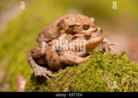 Common Toads (Bufo bufo), mating, male clasping a female, amplexus, Thuringia, Germany - Stock Photo