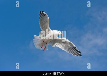 Black-headed Gull (Larus ridibundus, Chroicocephalus ridibundus) in flight, Mecklenburg-Vorpommern, Germany - Stock Photo