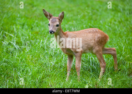 Roe Deer (Capreolus capreolus), fawn standing on a meadow, captive, Thuringia, Germany - Stock Photo