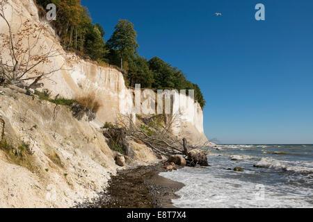 Baltic Sea, beach, chalk cliffs and beech forest, beech (Fagus sylvatica), Jasmund National Park, Rügen, Mecklenburg - Stock Photo