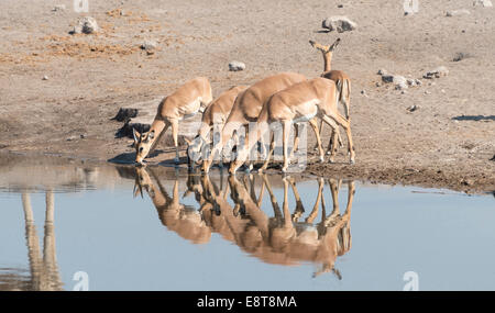 Group of Black Nose Impalas (Aepyceros melampus petersi) drinking at water, Chudop waterhole, Etosha National Park, - Stock Photo