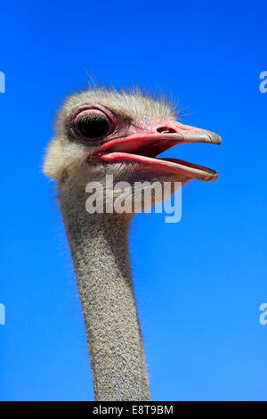 Southern Ostrich (Struthio camelus australis), adult male, portrait, Little Karoo, Western Cape, South Africa - Stock Photo