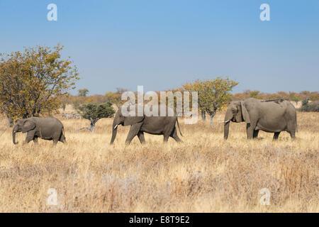 Three African elephants (Loxodonta africana), moving through dry grass, Etosha National Park, Namibia