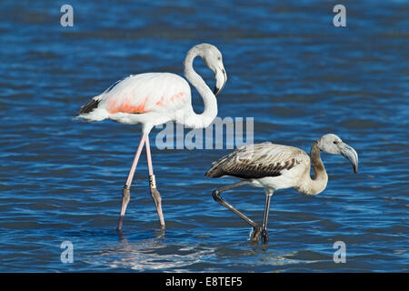 greater flamingo (Phoenicopterus roseus) single adult and chick walking in shallow water, Camargue, France, August - Stock Photo
