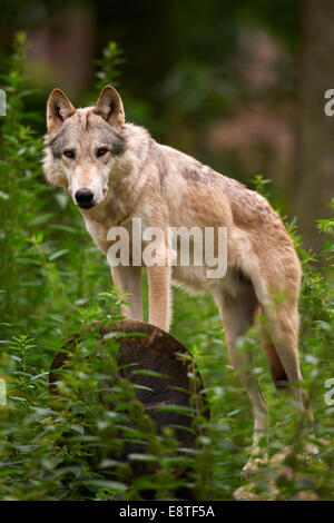 The gray wolf or grey wolf (Canis lupus) standing on a log - Stock Photo