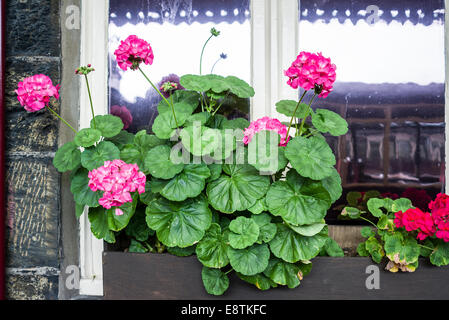 Flower box filled with geraniums on a North Wales railway station - Stock Photo