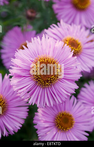 Close up of pink Michaelmas daisies in flower - Stock Photo