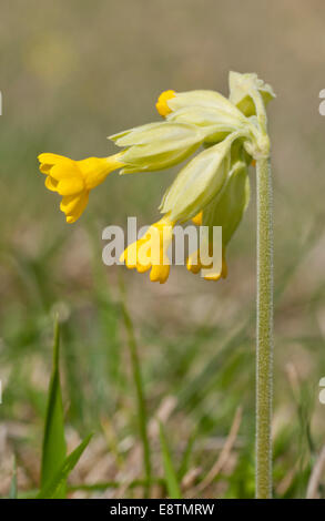 A low shot of the yellow flowered Cowslip on Box Hill, Surrey - Stock Photo