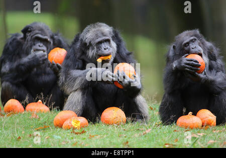 Arnhem, Netherlands. 14th October, 2014. ARNHEM - A happy family dinner. A special autumn surprise for the chimpanzees - Stock Photo