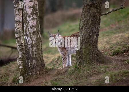 Northern Lynx; Lynx lynx; Captive; UK - Stock Photo