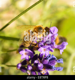 A honeybee feeding on a lavender plant. - Stock Photo