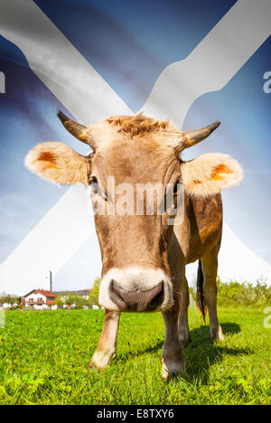 Cow with flag on background series - Scotland - Stock Photo
