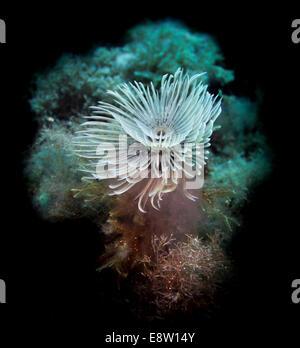 Picture of a Giant fan worm, Sabella spallanzani, taken in Malta, Mediterranean. - Stock Photo