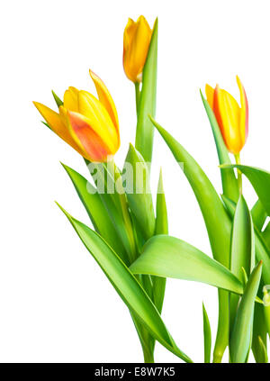 blossoming spring yellow Tulips flower colorful is isolated on white background - Stock Photo