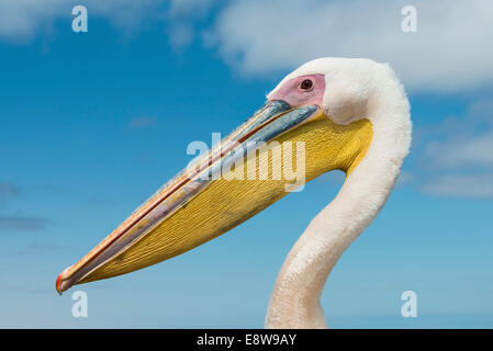 Great White Pelican (Pelecanus onocrotalus), portrait, Walvis Bay, Namibia - Stock Photo
