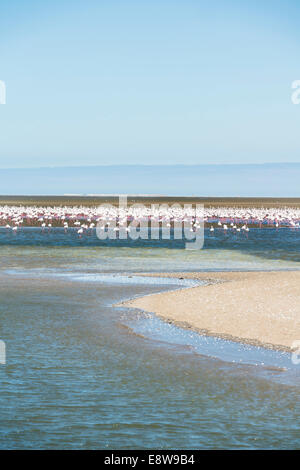 American Flamingoes (Phoenicopterus ruber), Lesser Flamingoes (Phoeniconaias minor), flamingo colony on sand bank - Stock Photo