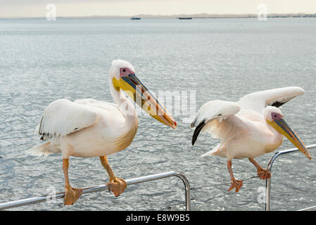 Two Great White Pelicans (Pelecanus onocrotalus) on a railing in Walvis Bay, Namibia - Stock Photo