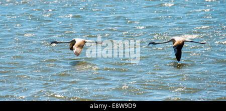 American Flamingo (Phoenicopterus ruber), Lesser Flamingo (Phoeniconaias minor) in Walvis Bay, Namibia - Stock Photo