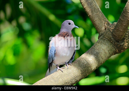 Laughing Dove (Streptopelia senegalensis), adult on tree, South Africa - Stock Photo