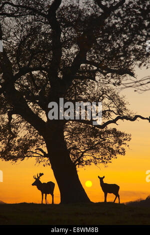 Red Deer - Cervus elaphus - Stock Photo