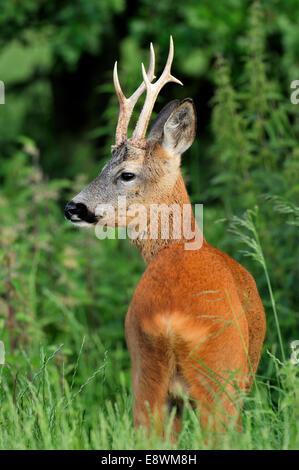 Roe Deer - Capreolus capreolus - Stock Photo