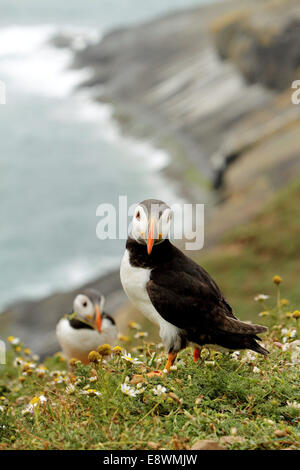 puffin puffins birds seabirds seabird - Stock Photo