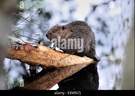 European Beaver - Castor fiber - Stock Photo