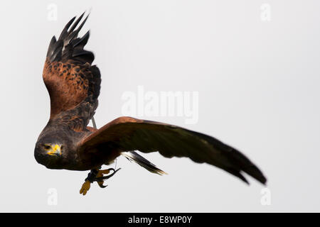 White tailed Eagle in flight - Stock Photo