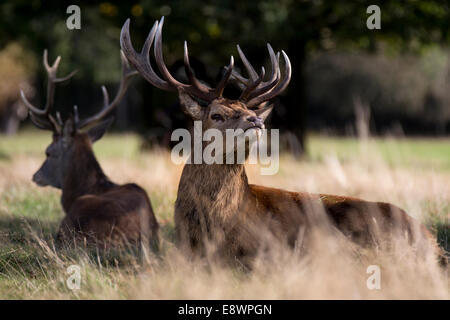 Red Deer in the autumn sun - Stock Photo