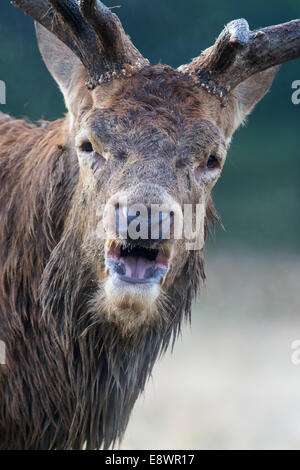 Red stag barking during rutting season - Stock Photo
