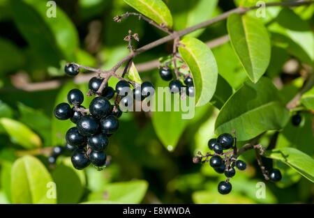 Black berries of Wild Privet - Stock Photo